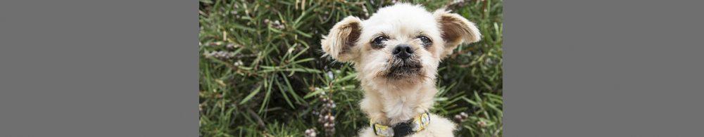 RSPCA ACT Shelter dog Henry